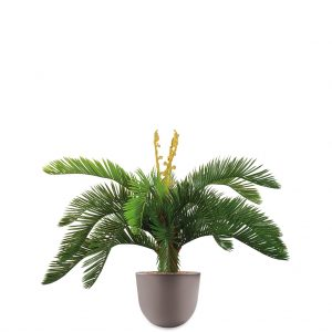 HTT - Kunstplant Cycas in Eggy taupe H70 cm - kunstplantshop.nl